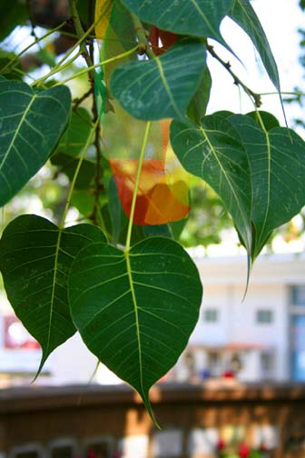 Its distinctive heart shaped leaves make the bodhi tree easy to spot.
