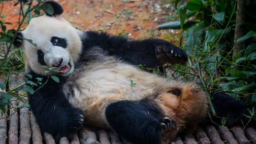 Linping's Facebook photo is sure to get China's pandas all sexed up and ready to go.